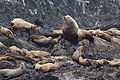 Steller Sea Lion colony, Outer Broken Group Islands.jpg