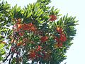 Stenocarpus sinuatus, loof en blomme, Manie van der Schijff BT, a.jpg