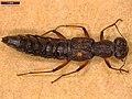 Stenus bimaculatus (27546538168).jpg