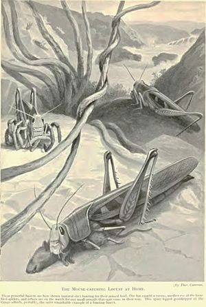 Edward Step - An inaccurate image showing a grasshopper feeding on a mouse