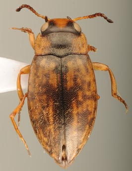 Sternopriscus multimaculatus