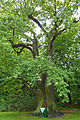 Stieleiche Tierpark sued 2014-08 Berlin-Frf 1512-1392-120.jpg