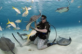 Stingray - Divers can interact with stingrays at Stingray City in the Cayman Islands.