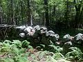 Stone fence hear Nehantic Trail & Nehantic-Pachaug Crossover Trail intersection.jpg