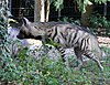 Streifenhyaene Hyaena hyaena Zoo Augsburg-09.jpg