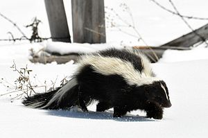 Striped skunk - Image: Striped Skunk (Mephitis mephitis) DSC 0030