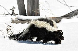 Striped skunk - Image: Striped Skunk (Mephitis mephitis) DSC 0030