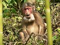 Stump tailed Macaque P1130751 17.jpg