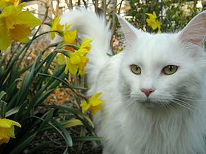 Maine Coon - An all-white Maine Coon