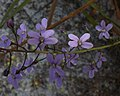Stylidium violaceum (mutant).jpg
