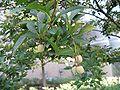 Styrax japonica3.jpg