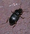Subgenus Pseudoophonus P1330706a.jpg