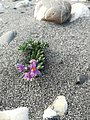 Succulent growing and blooming in river sand.jpeg