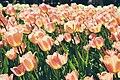 Sunlit tulips (Unsplash).jpg
