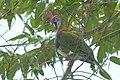 Superb fruit-dove at Tomohon (1).JPG