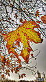 Svln4821 resimleri fotolari sekilleri photos pictures autumn fall payiz sonbahar leaves.JPG