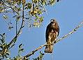 Swainson's Hawk on Seedskadee National Wildlife Refuge (29237081291).jpg