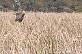 Swamp Harrier hunting WA.jpg