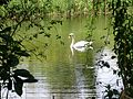Swan at Paxton Pits - August 2013 - panoramio.jpg
