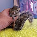 Sweepy Sniper the Sri Lankan Palm squirrel. ( the world loves you).jpg