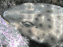 Swell Shark closeup, San Clemente Island, California.jpg