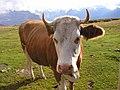 Swiss Cow (305771150).jpg