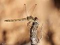 Sympetrum female (5040569551).jpg
