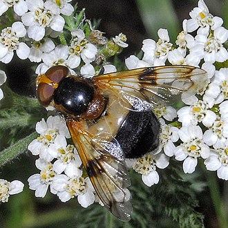 Volucella pellucens - Female