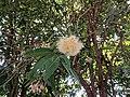 Syzygium munronii 43.jpg