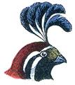 Tête de Colin (Millot-1907).png