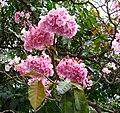 Tabebuia heterophylla2855918707.jpg