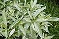 Tabernaemontana divaricata 2907.jpg