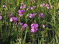 Tajimagahara Wild Primrose 08.jpg