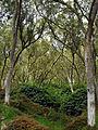 Tamarindenwald Route Forestiare Maido.jpg