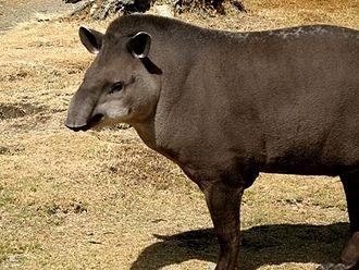 Igapó - Brazilian tapir (Tapirus terrestrus)