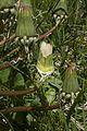 Taraxacum officinalis Loewenzahn uebergang Bluete Frucht 1.jpg