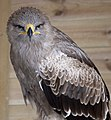 Tawny Eagle 2 (3862232127).jpg