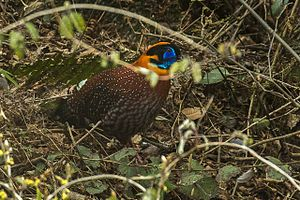 Temmink's Tragopan - Eaglenest Pass - India FJ0A9727 (34128378202).jpg