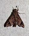 Temnora pseudopylas (Sphingidae- Macroglossinae- Macroglossini) (26624427043).jpg