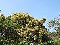 Terminalia paniculata - Kindal Tree flowers at Blathur 2017 (5).jpg