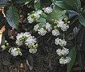 Tetracera loureiri -泰國清邁花展 Royal Flora Ratchaphruek, Thailand- (9227006327).jpg