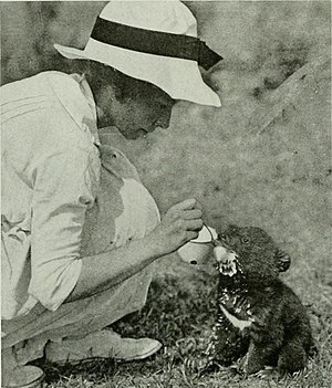 Roy Chapman Andrews - Mrs. Yvette Borup Andrews, first wife of Roy Chapman Andrews, feeding Tibetan Bear cub in 1917