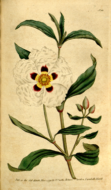 The Botanical Magazine, Plate 112 (Volume 4, 1791).png