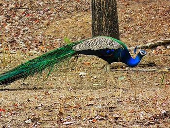 The Indian National Bird.jpg