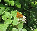 The Silver-washed fritillary on bramble - geograph.org.uk - 1281065.jpg