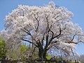 """The cherry blossom """"Koshidai-no-Sakura"""" in Furudono town, Fukushima Prefecture - panoramio.jpg"""
