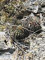 Thelocactus tulensis ssp. matudae (5726914739).jpg
