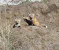 Three foxes (4565245211).jpg