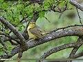 Tickell's Leaf Warbler (Phylloscopus affinis) (26513496629).jpg