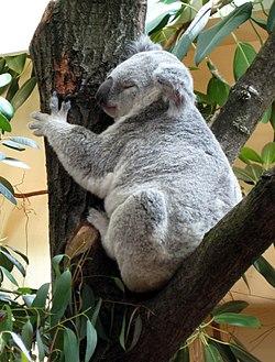 Tiergarten Schoenbrunn Koala 1.jpg